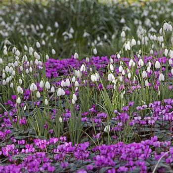 Snowdrop Weekend at Colesbourne Gardens
