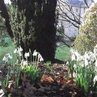 Pencarrow Snowdrop Day & Kernow Mill - £21